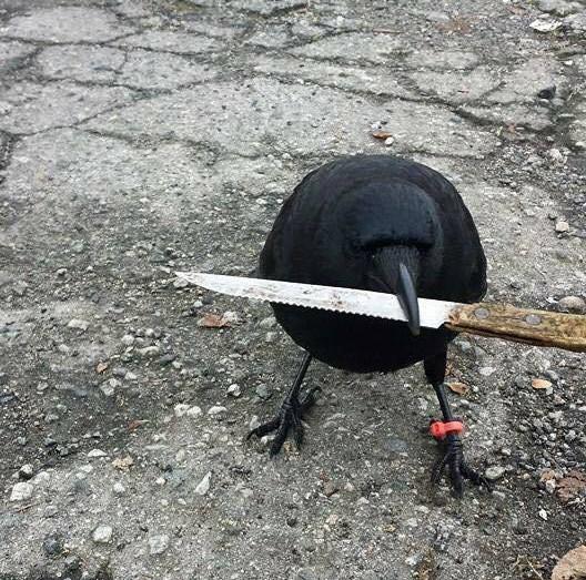 bıçak taşıyan karga